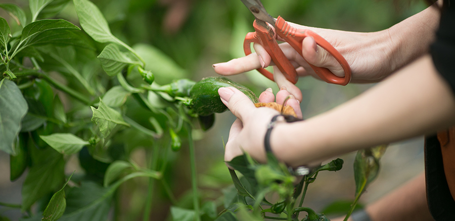 オーガニック野菜の収穫体験(6~11月)